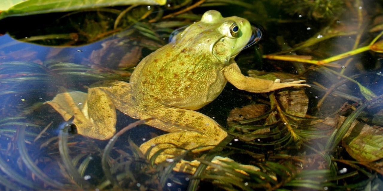 Frog on Oxbow Creek (2)