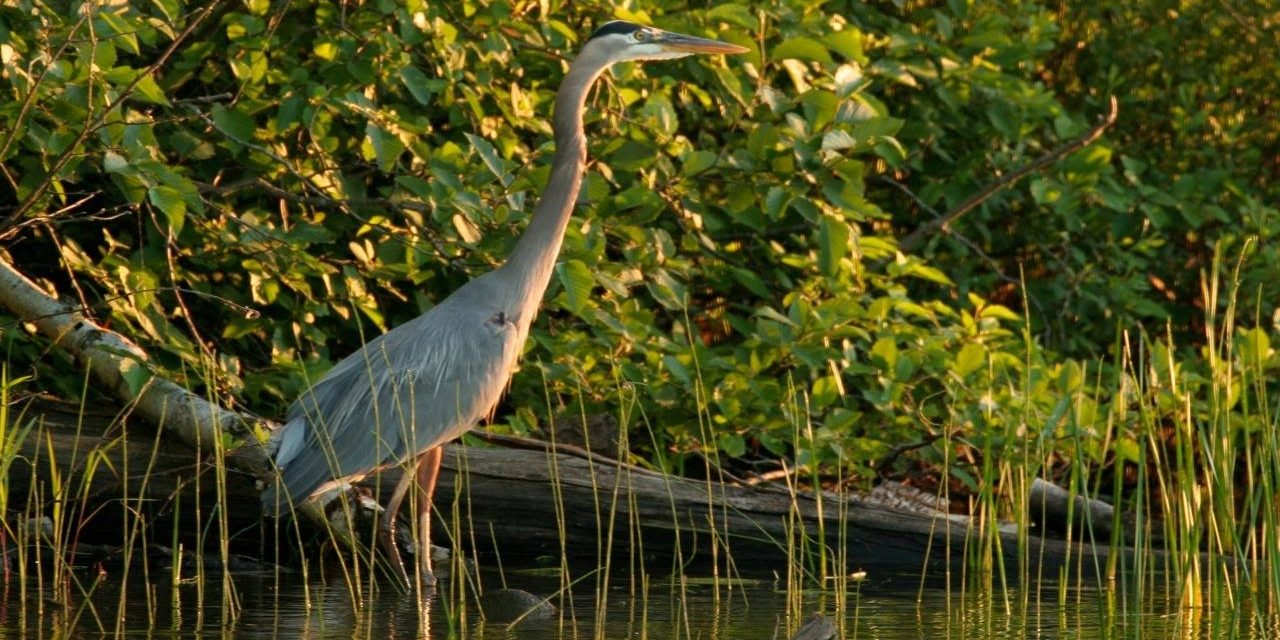 Great Blue Heron on Crab Lake